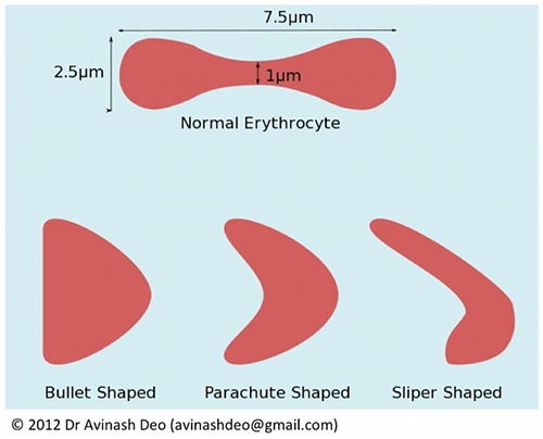 Erythrocytes change shape with increasing flow rate