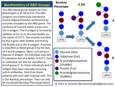 Authoritative answer abo blood group genetics