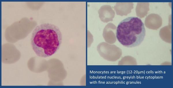 Two Monocytes