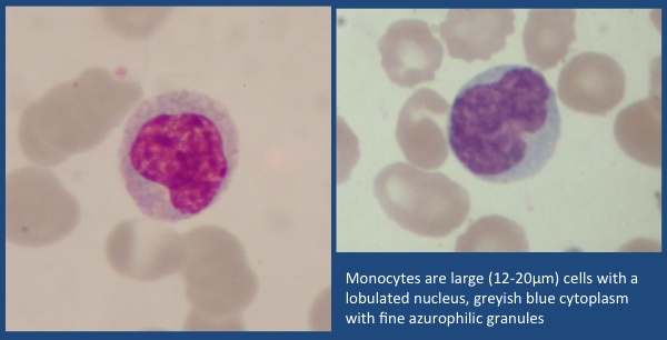 Two Monocytes