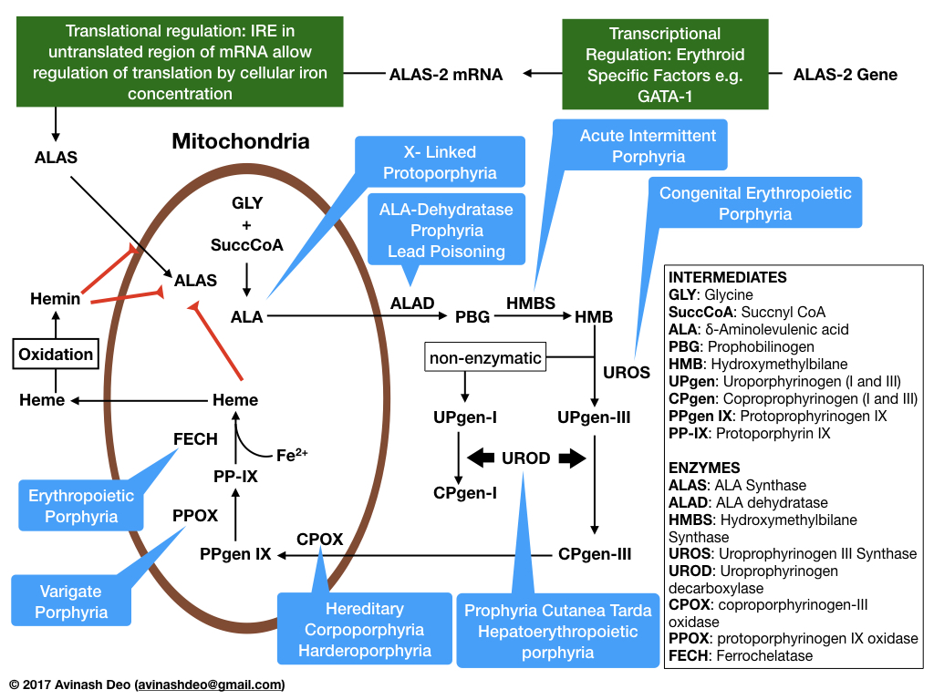 Heme Synthesis – All About Blood
