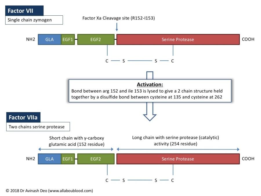 Factor VII. Factor VIIa, coagulation factor, vitamin K dependent coagulation factor